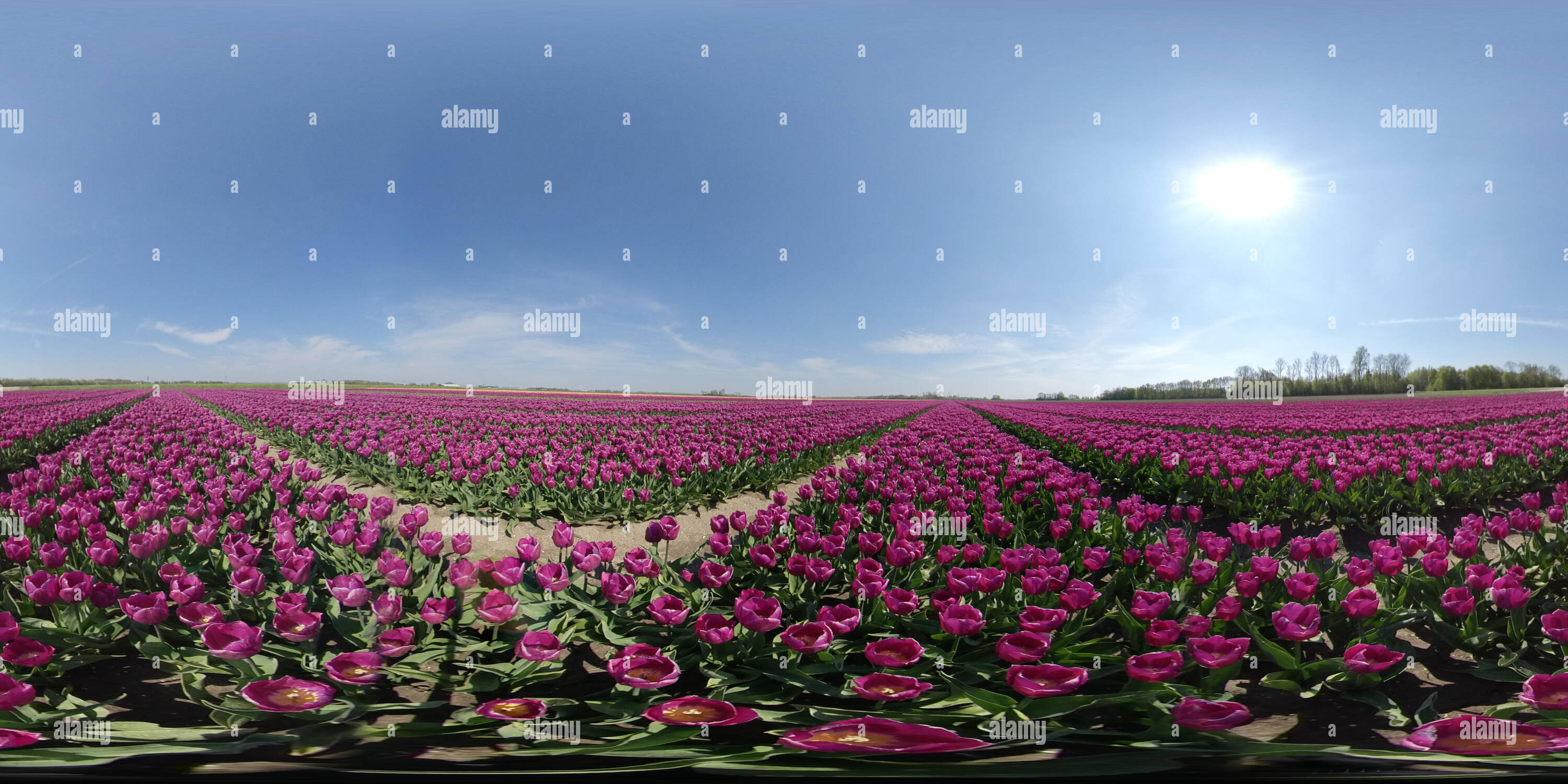 Flower Field In Lisse & Amsterdam, Holland - The Netherlands - Stock Image