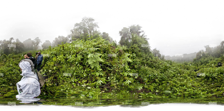 Gorilles dans la brume Photo Stock