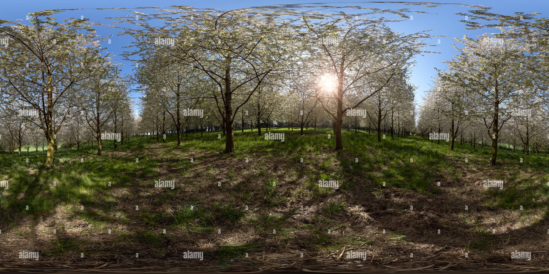 Visualizzazione panoramica a 360 gradi di Fiore di Ciliegio alberi