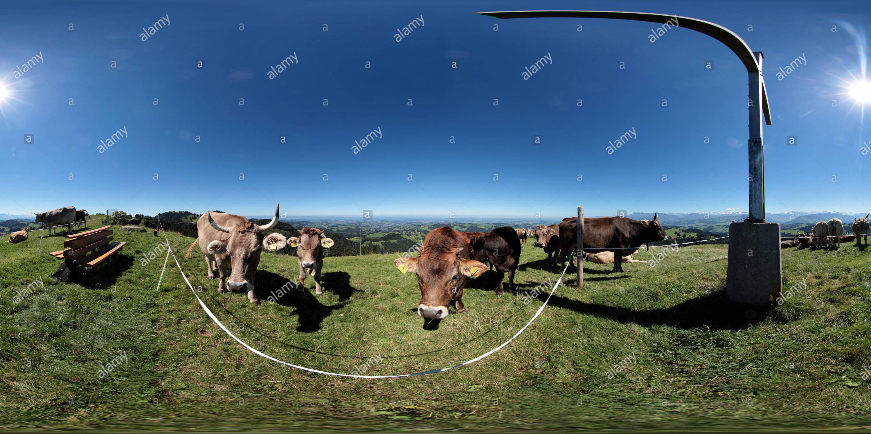 Die Kuehe vom Napf Immagini Stock